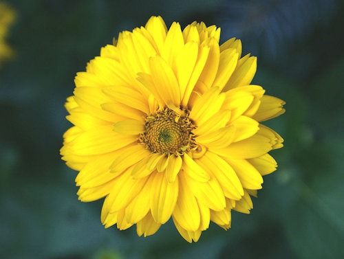 Heliopsis_helianthoides