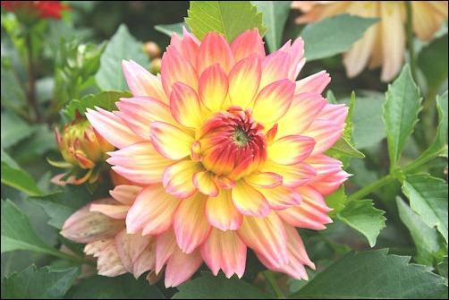 Kwiat_Dalii