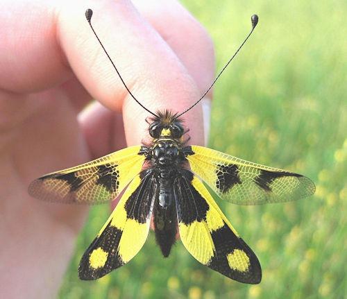 Libelloides_macaronius