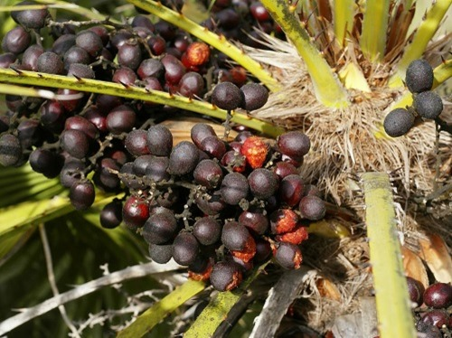Chamaerops_humilis_(fruits)
