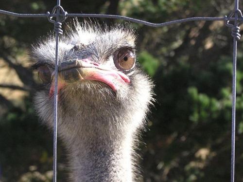 Farmed_Ostrich