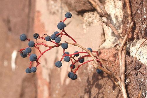Parthenocissus_quinquefolia