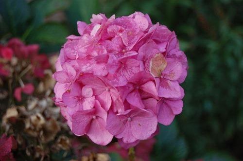 Pink_Hortensia