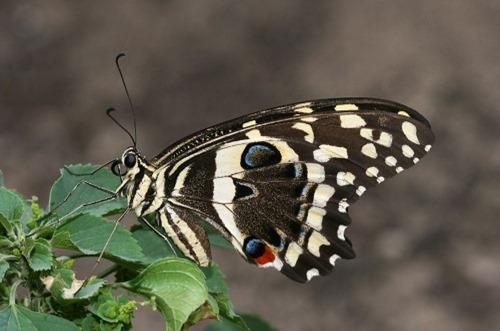 Citrus_Swallowtail_Papilio_demodocus