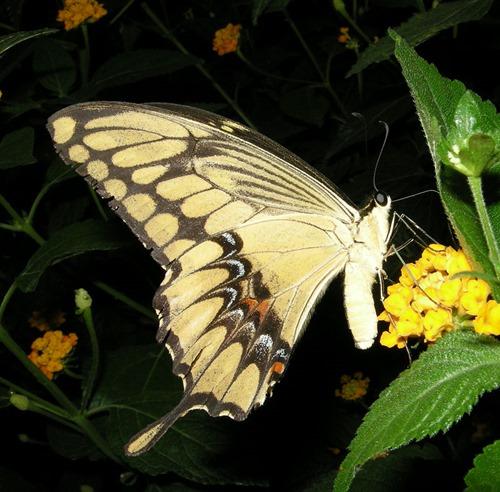 Papilio_cresphontes