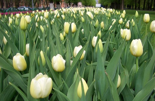 Blooming_tulips