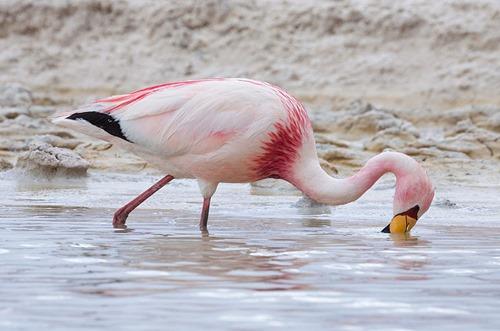 James's_Flamingo
