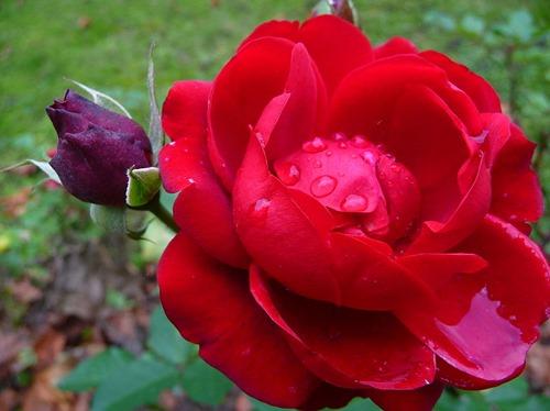 Rose_mit_Regentropfen
