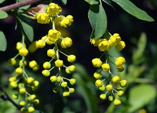Berberis_chinensis