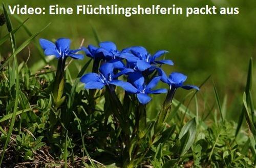 Frühlings_Enzian02
