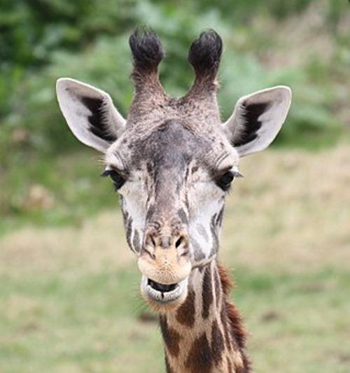 Masai_Giraffe