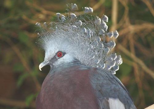 Victoria_Crowned_Pigeon