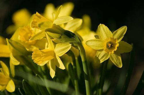 Narcissus02