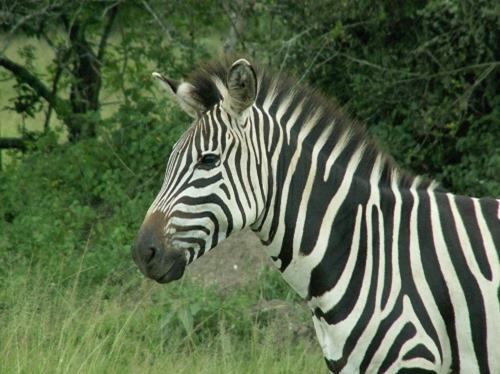 Zebra_head